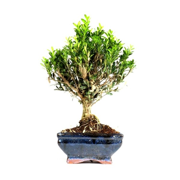 Buxus Harlandii Bonsai - Boxwood, Buxus Bonsai (4 years)