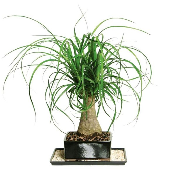 Nolina Palm Bonsai - Elephant Foot Bonsai, Ponytail Palm Bonsai (5 years)