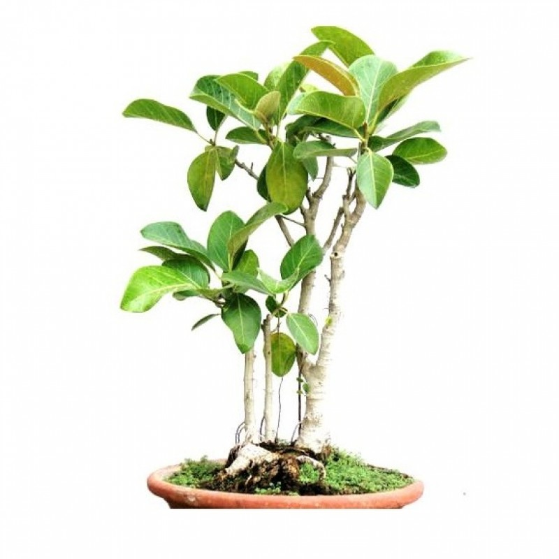 Buy Banyan Tree Bonsai 7 Years Old Tree Online At
