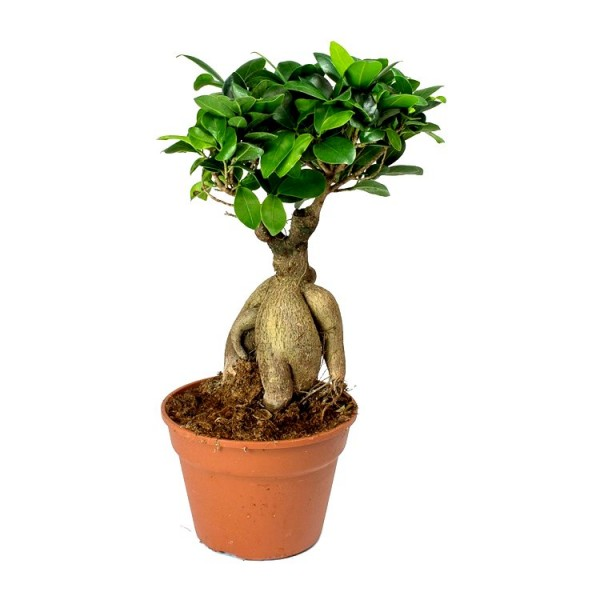 Ficus Bonsai (trunk weight: 500 gram) Plant