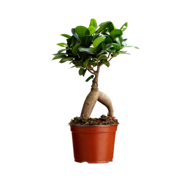 Ficus bonsai 100 Grms