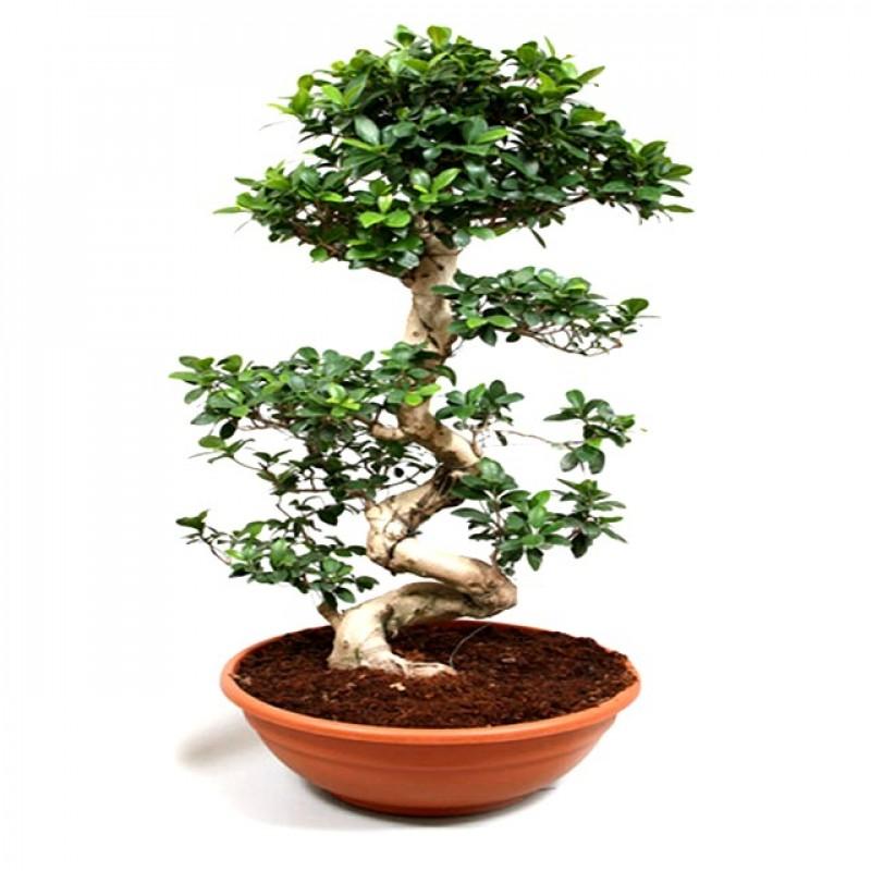 Buy Ficus Bonsai Podacate Tree Online At Low Price On Plantsguru Com