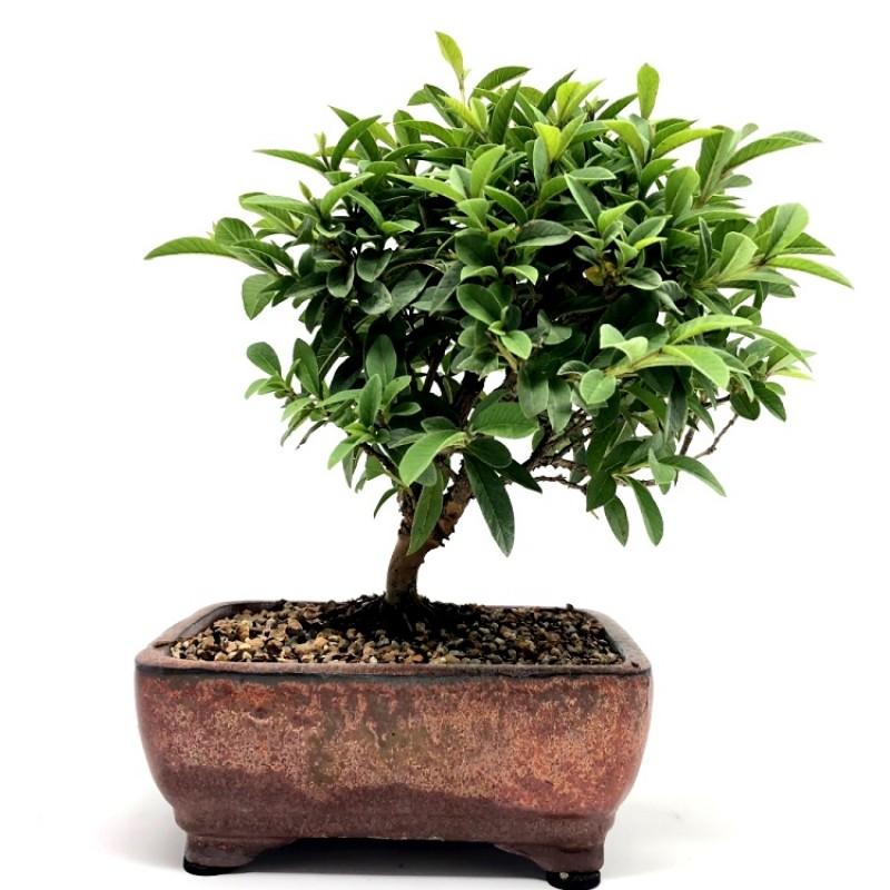 Buy Guava Plant Bonsai 5 Years Old Online At Plantsguru Com