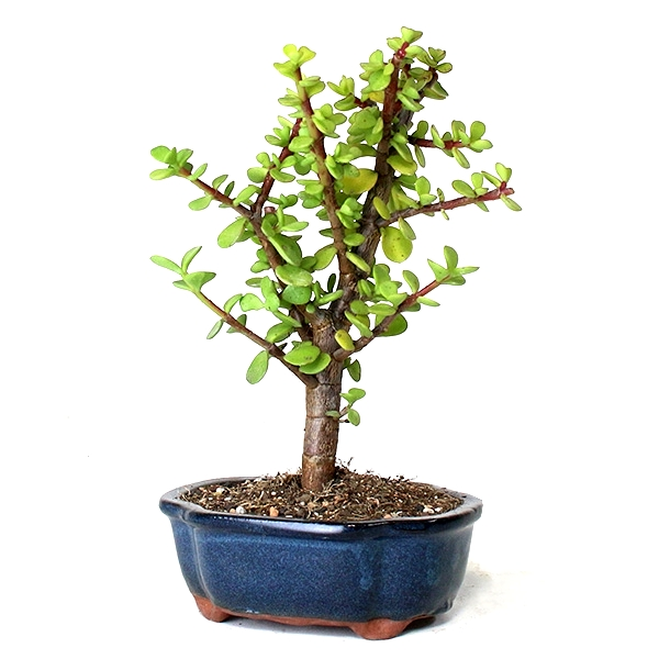 Jade Plant Bonsai - 3 Years