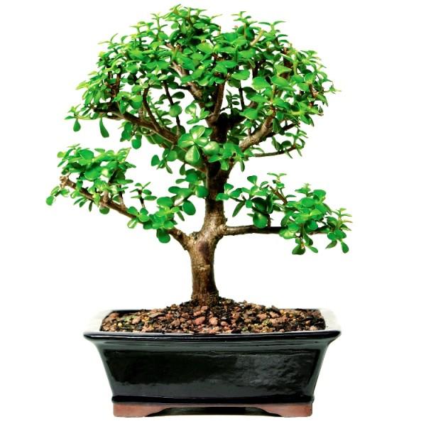Jade Plant Bonsai - 4 Years