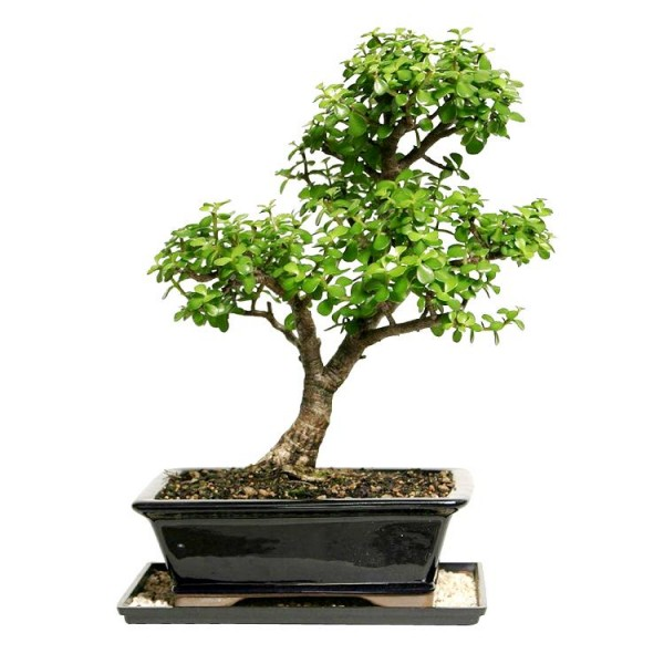 Jade Plant Bonsai - 5 Years