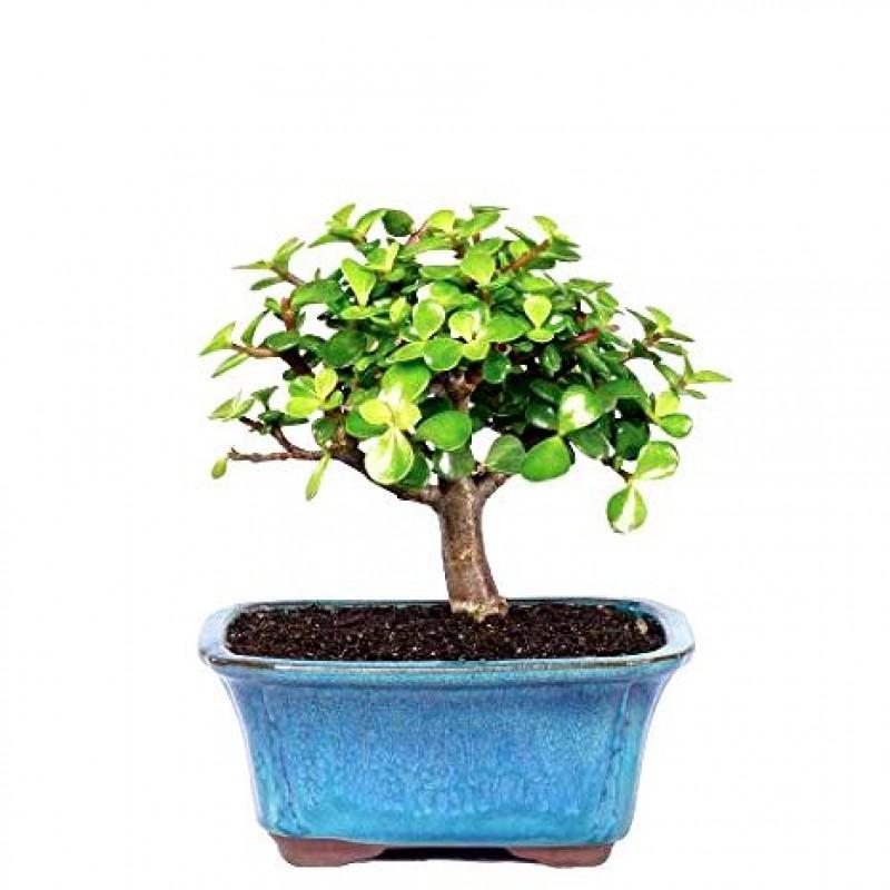 Buy Jade Plant Bonsai 2 Years Old Online India At Plantsguru Com