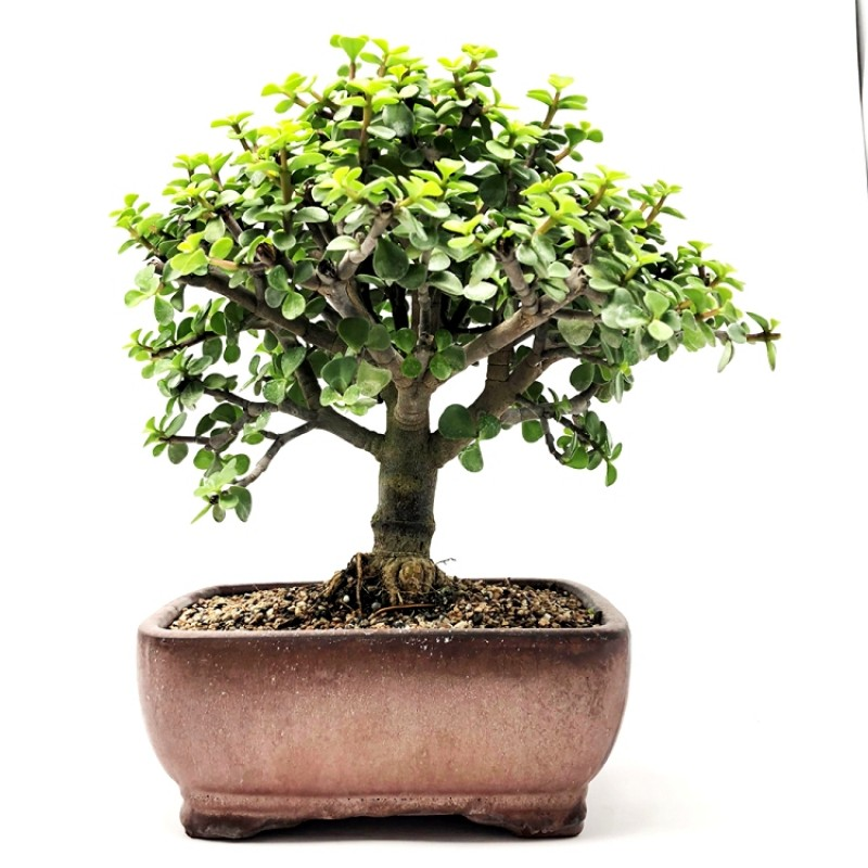 Jade Plant Bonsai Tree 6year Old Plant Buy Online At