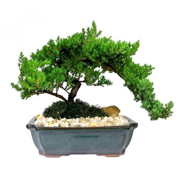 Juniper Bonsai Plant - 4 years old