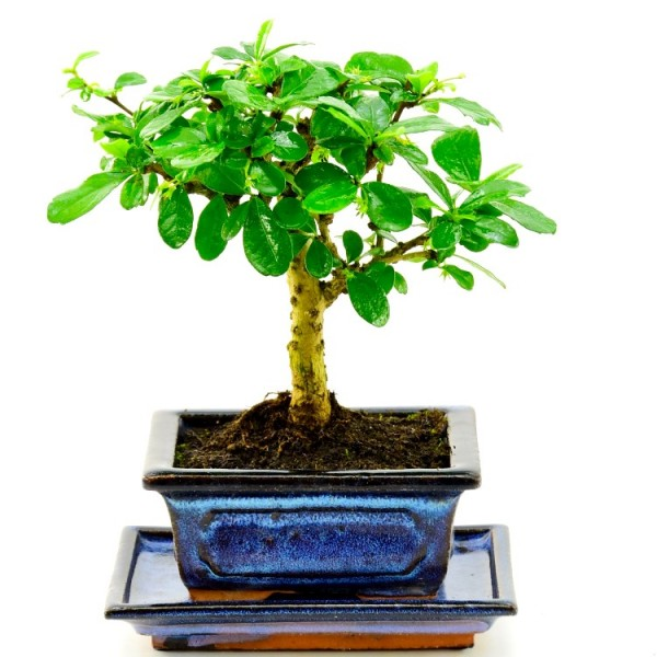 Malphigia I Shape Bonsai