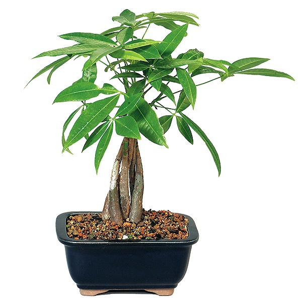 Pachira, Money Tree Bonsai - 5 years