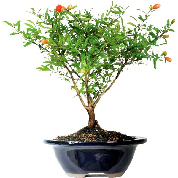 Pomegranate Plant Bonsai
