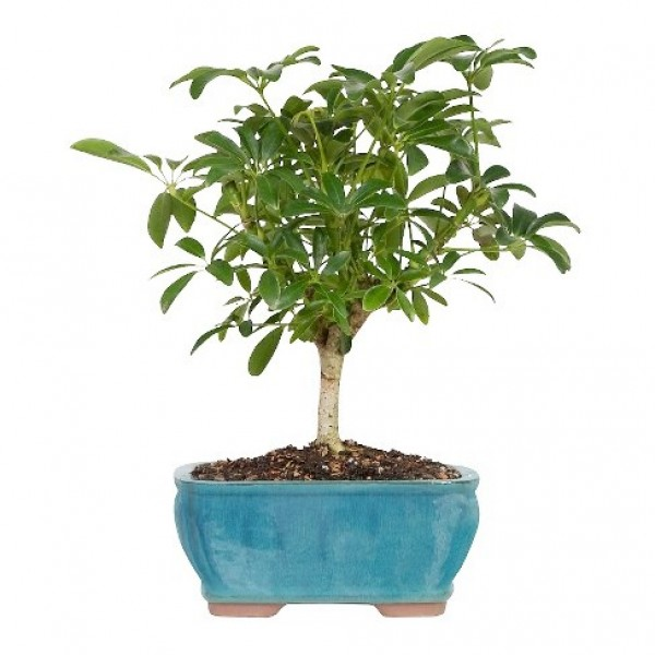 Schefflera Bonsai - 4 Years