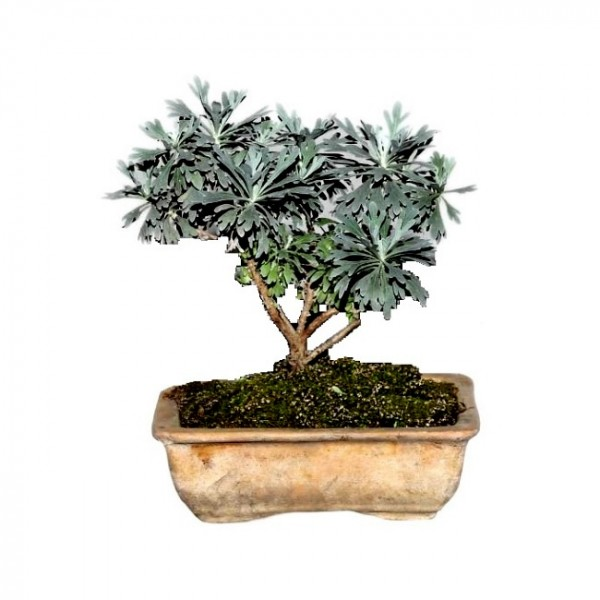 Silver Dust Bonsai - 4 Years
