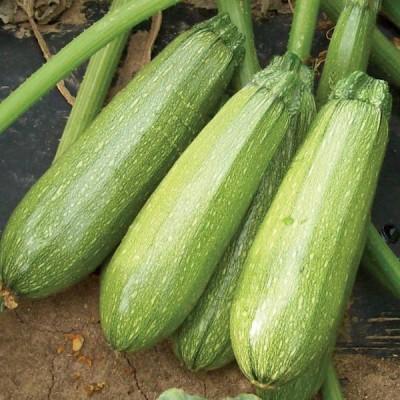 Omaxe Summer Squash Chappan Kadu F1(Zucchini) seeds