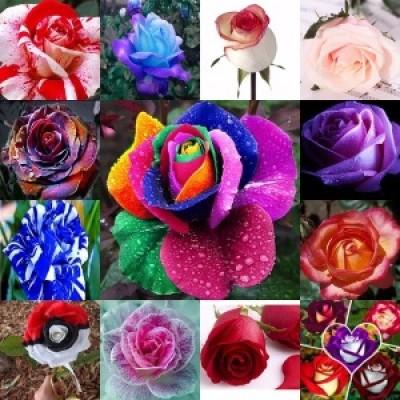 Rose Seeds