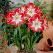 Summer Seasonal Bulbs