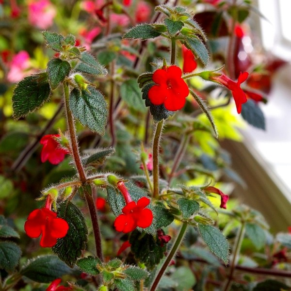 Achimenes Red Bulbs (Pack of 5 Bulbs)
