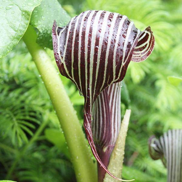 Arisaema Lily - Snake Lily Bulbs (5 Bulbs)