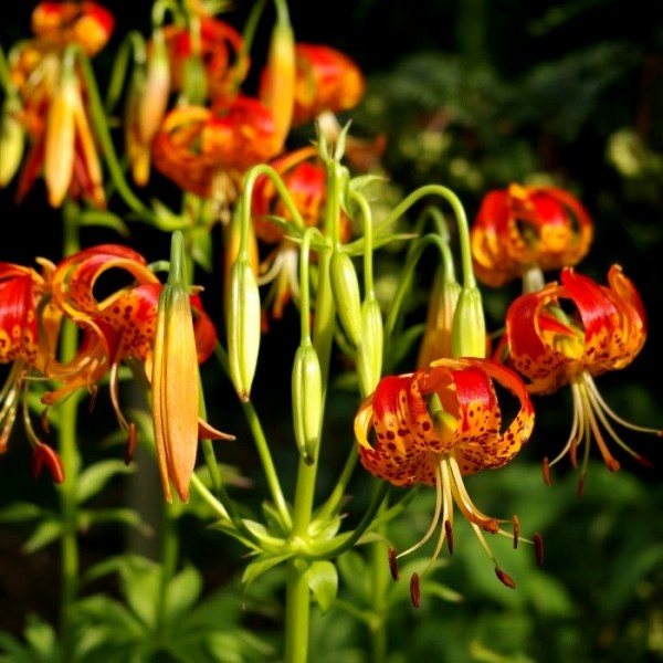 Lilium Giganteum Bulbs, Panther Lily, Gaint Lily (3 Bulb)