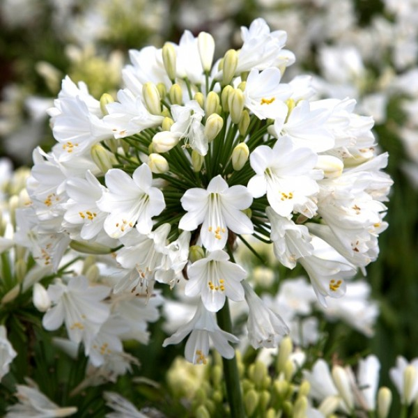 Agapanthus White Bulbs (Pack of 2 Bulbs)