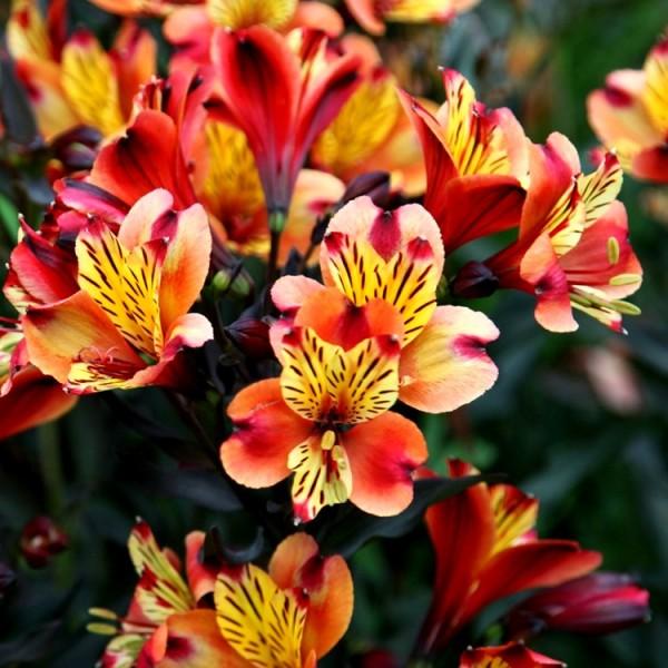 Alstroemeria Bulbs - 3 Bulbs
