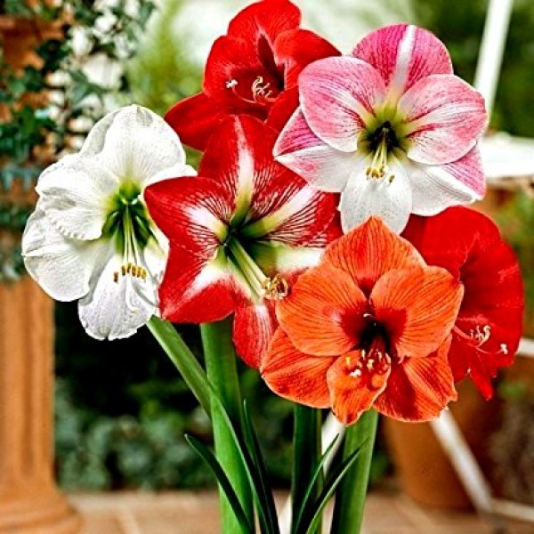 Amaryllis Lily Australian Mix Bulbs (Pack of 5)