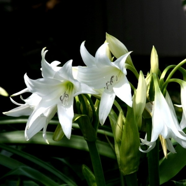 Crinum Lily Gaint Bulbs - 1 Bulb
