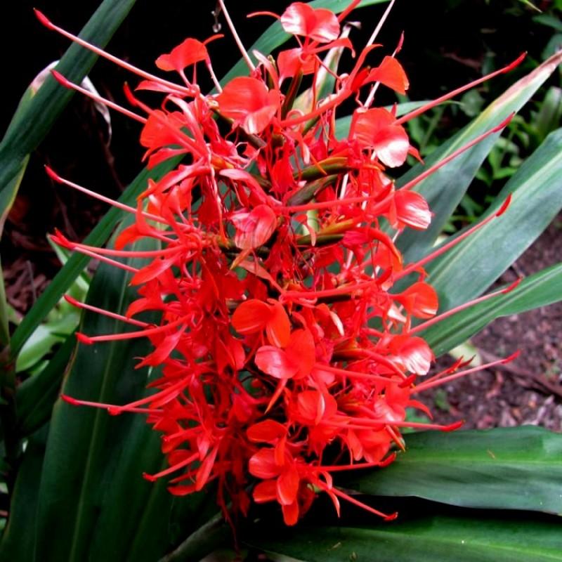 """Résultat de recherche d'images pour """"Hedychium couleur rouge"""""""