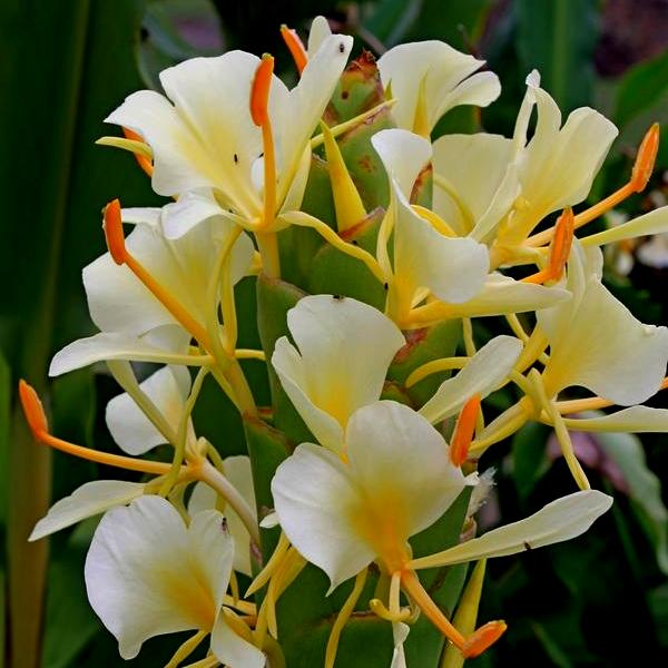 Hedychium Bulbs - Hedyschum Bulbs (White, 3 Bulb)