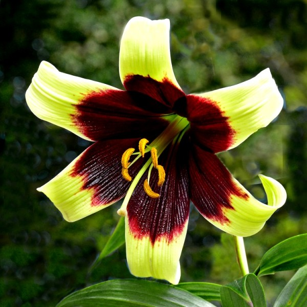 Lillium Nepalense Bulbs - 3 Bulbs