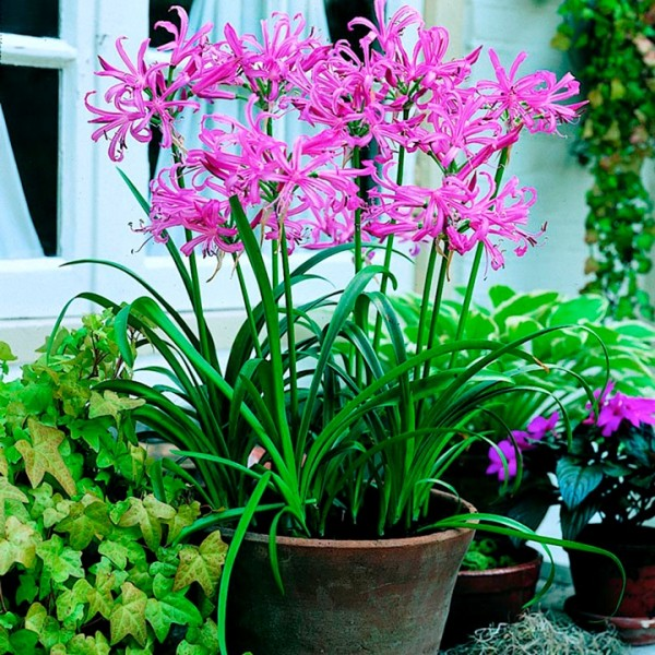 Nerine Lily Bulbs (Mix Color, 3 Bulb)