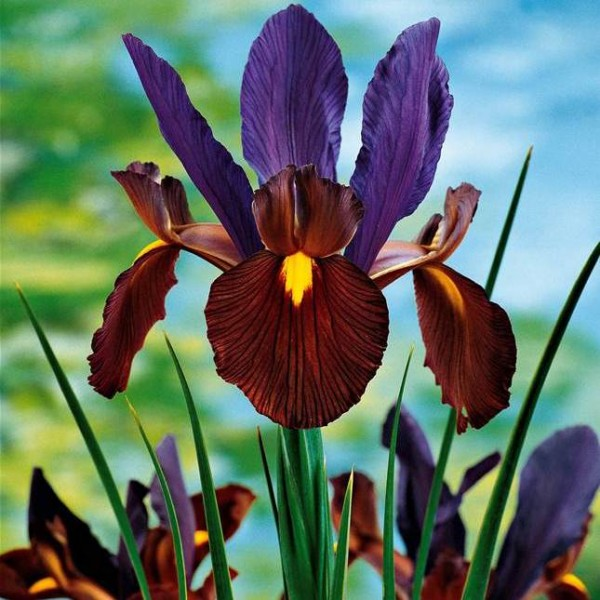 Iris Eye of Tiger (4 Bulbs)