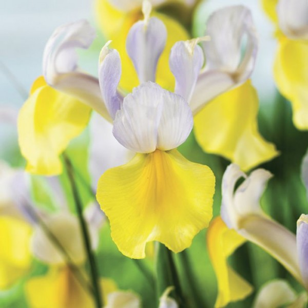 Iris Professor Blauw (4 Bulbs)