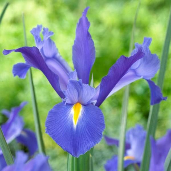 Iris Telestar (4 Bulbs)