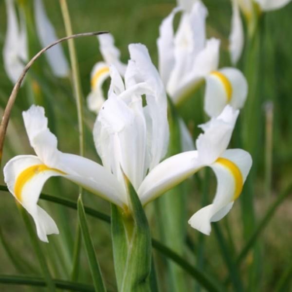 Iris White Excelsior (4 Bulbs)