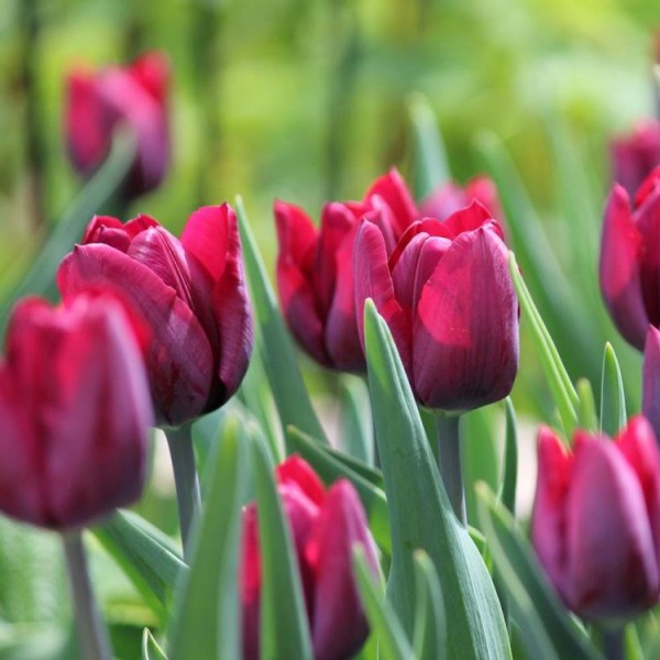 Tulip Bulbs (Purple Flag, 2 Bulb)