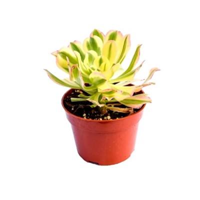 Aeonium 'Sunburst' – Copper Pinwheel Succulent Plant