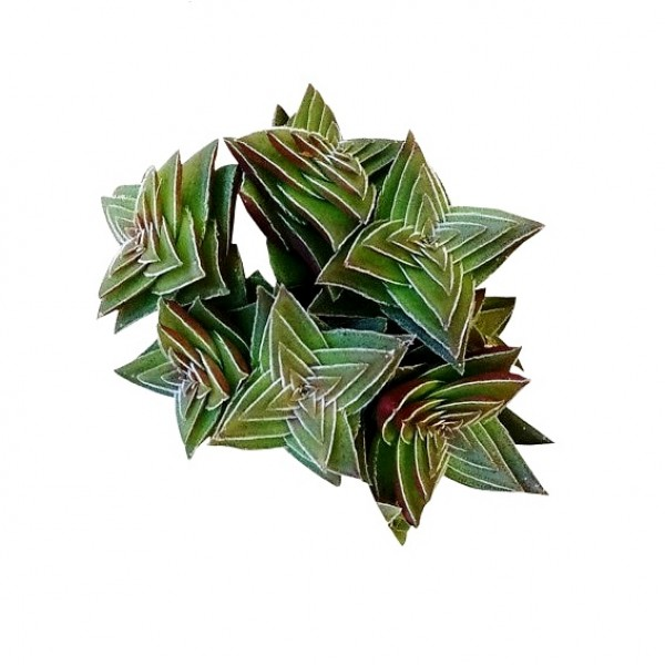 Crassula Capitella Thyrsiflora - Shark Tooth Plant