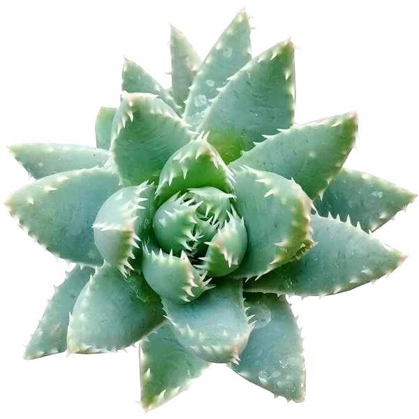Aloe Brevifolia Succulent Plant