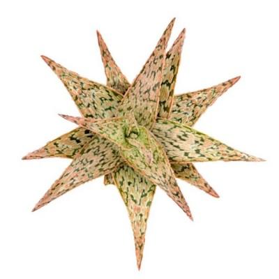 Aloe Pink Blush Succulent Plant