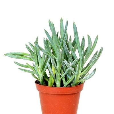 Senecio Mandraliscae - Blue Chalk Stick Plant