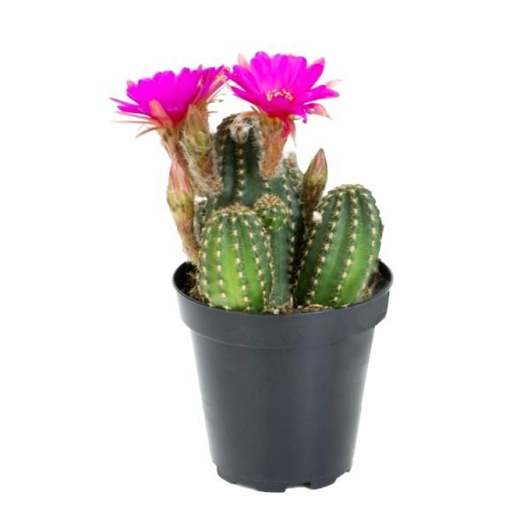 Chamaelobivia Rose Quartz Cactus