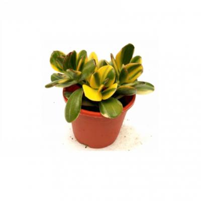 Crassula Ovata Variegated Succulent Plant