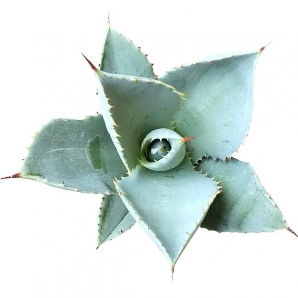 Agave Dwarf Butterfly