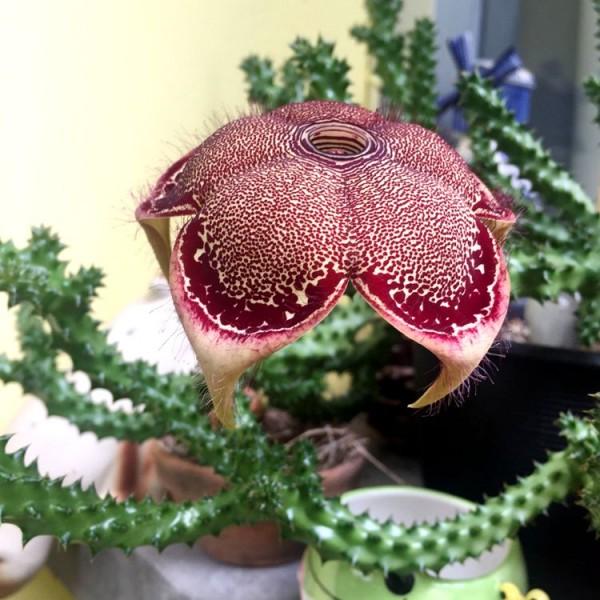 Edithcolea Grandis Cactus
