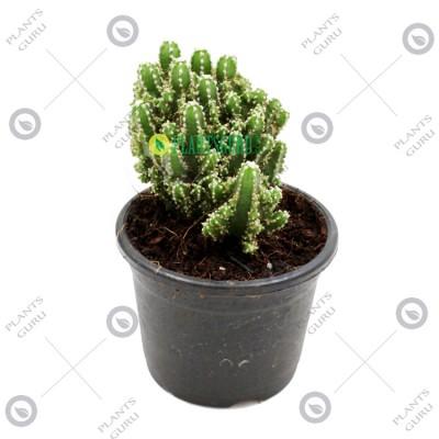 Cereus Fairy Castle Cactus