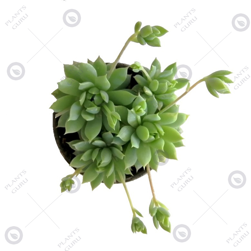 Graptopetalum Macdougallii Succulent Plant