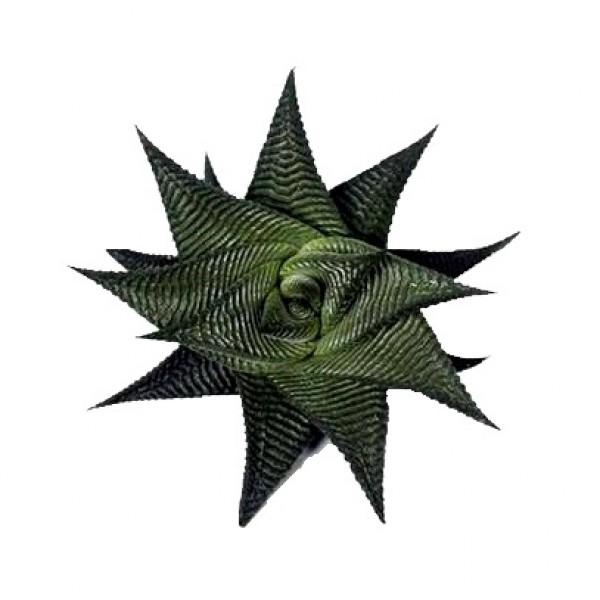 Haworthia Limifolia Twisted Succulent Plant