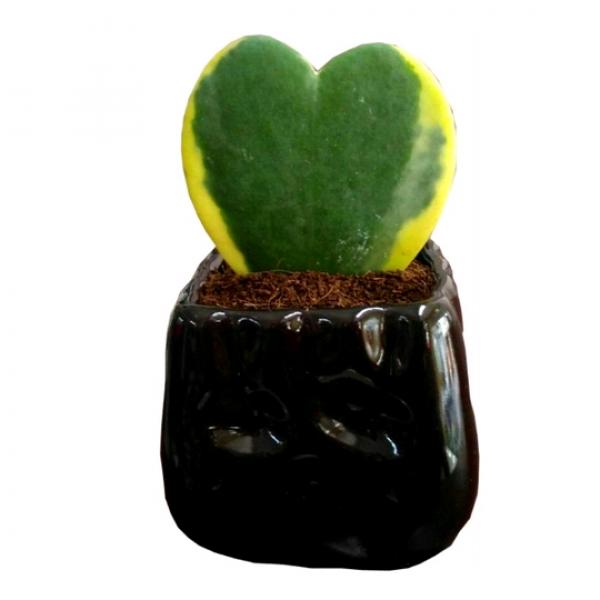 Hoya Kerrii Variegata - Heart Shape, Lucky-Heart Succulent